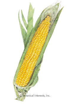 Corn Sweet Bodacious (yellow) Seeds
