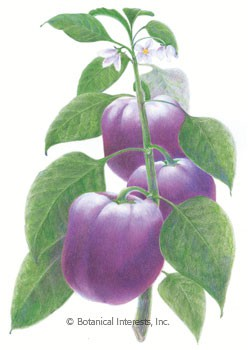 Pepper Sweet Purple Beauty Seeds