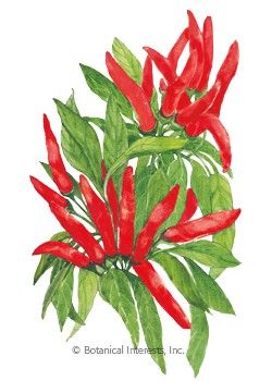 Pepper Chile Santaka Hot Asian HEIRLOOM Seeds