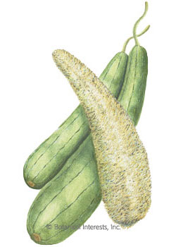 Gourd Luffa HEIRLOOM Seeds