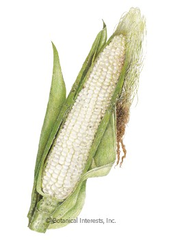Corn Sweet Argent (white) Seeds