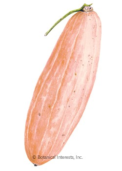 Squash Winter Pink Banana HEIRLOOM Seeds