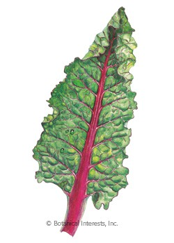 Swiss Chard Ruby Red/Rhubarb HEIRLOOM Seeds