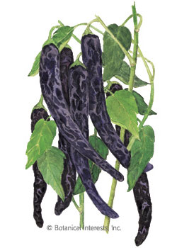 Pepper Chile Pasilla Bajio/Chilaca HEIRLOOM Seeds