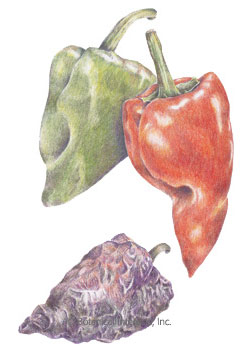 Pepper Chile Ancho/Poblano HEIRLOOM Seeds