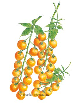 Tomato Cherry Sun Gold Seeds