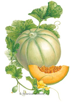 Melon Charentais HEIRLOOM Seeds