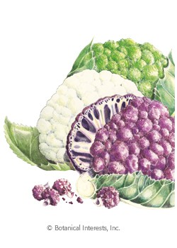 Cauliflower Chef's Choice Blend HEIRLOOM Seeds