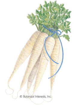 Parsnip All American Seeds