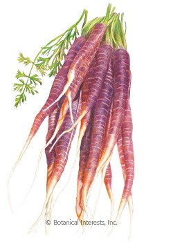 Carrot Cosmic Purple Seeds