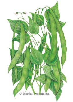 Bean Bush Roma II Seeds