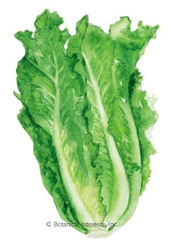 Lettuce Romaine Parris Island HEIRLOOM Seeds