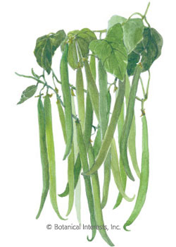 Bean Bush Filet French Filet Seeds