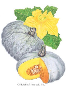 Squash Winter Sweet Meat HEIRLOOM Seeds
