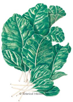 Mustard Spinach Tendergreen HEIRLOOM Seeds