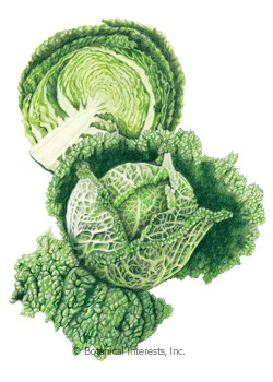 Cabbage Savoy Aubervilliers HEIRLOOM Seeds