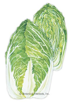 Cabbage Chinese One Kilo Slow Bolt Seeds