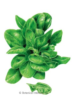Spinach Matador Seeds