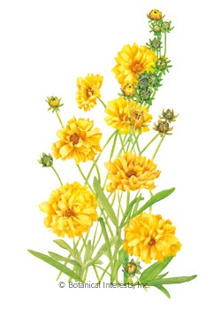 Coreopsis Double Sunburst Seeds