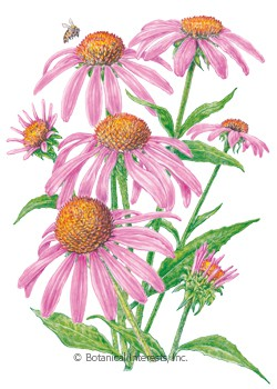 Echinacea Purple Coneflower Seeds