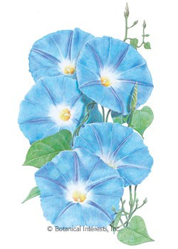 Morning Glory Heavenly Blue HEIRLOOM Seeds