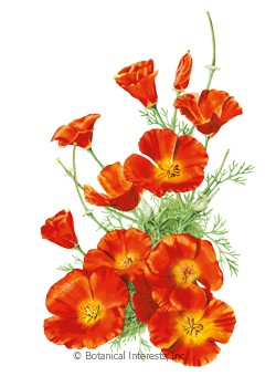 Poppy California Mikado Seeds