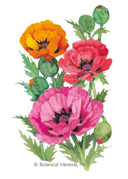 Poppy Oriental Blend HEIRLOOM Seeds