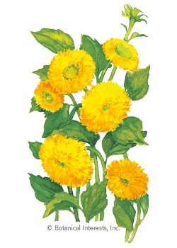 Sunflower Dwarf Teddy Bear Seeds