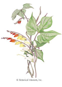 Mina Lobata Spanish Flag HEIRLOOM Seeds