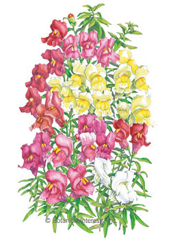 Snapdragon Magic Carpet Blend Seeds