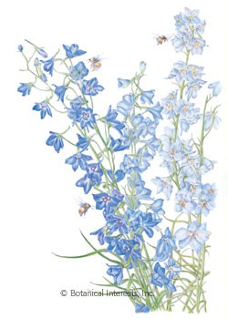 Larkspur Shades of Blue Seeds