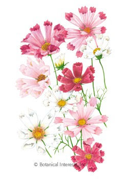 Cosmos Sea Shells Blend HEIRLOOM Seeds
