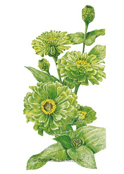 Zinnia Envy HEIRLOOM Seeds