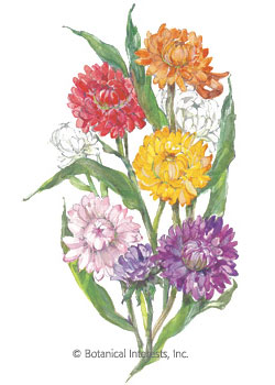 Strawflower Choice Blend HEIRLOOM Seeds