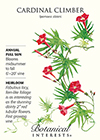 Cardinal Climber HEIRLOOM Seeds