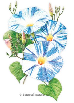 Morning Glory Flying Saucer HEIRLOOM Seeds