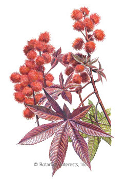Castor Bean Impala HEIRLOOM Seeds