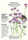 Verbena Brazilian Vervain HEIRLOOM Seeds