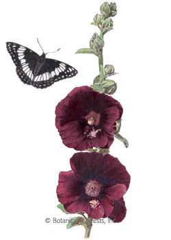Hollyhock the Watchman HEIRLOOM Seeds