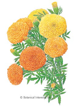 Marigold African Crackerjack HEIRLOOM Seeds