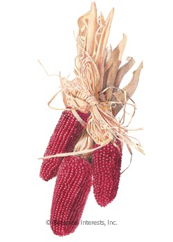 Corn Popcorn Strawberry HEIRLOOM Seeds