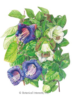 Cup and Saucer Vine Blue and White Blend HEIRLOOM Seeds