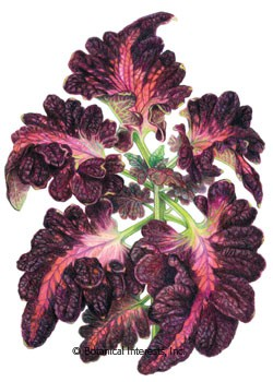 Coleus Black Dragon Seeds