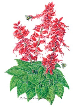 Salvia Early Bonfire Seeds