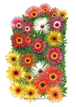 Iceplant Livingstone Daisy Sparkle Blend HEIRLOOM seeds