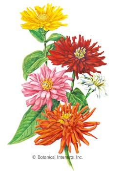 Zinnia Cactus Flower Blend HEIRLOOM Seeds