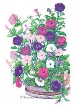 Petunia Laura Bush Blend Seeds