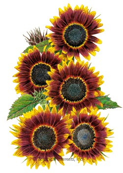 Sunflower Shock-O-Lat Seeds.