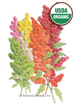Quinoa Brightest Brilliant Rainbow Organic Seeds