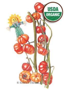 Pumpkin on a Stick Ornamental Eggplant Organic HEIRLOOM Seeds